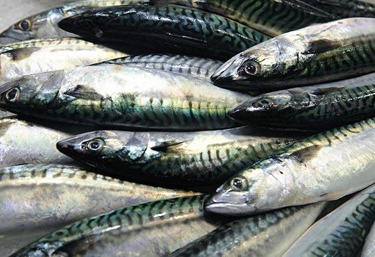 Ikan Tengiri