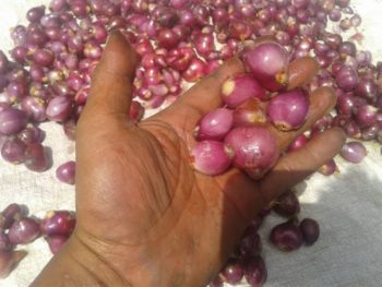 hasil kupasan Bawang Merah dan Bawang Putih