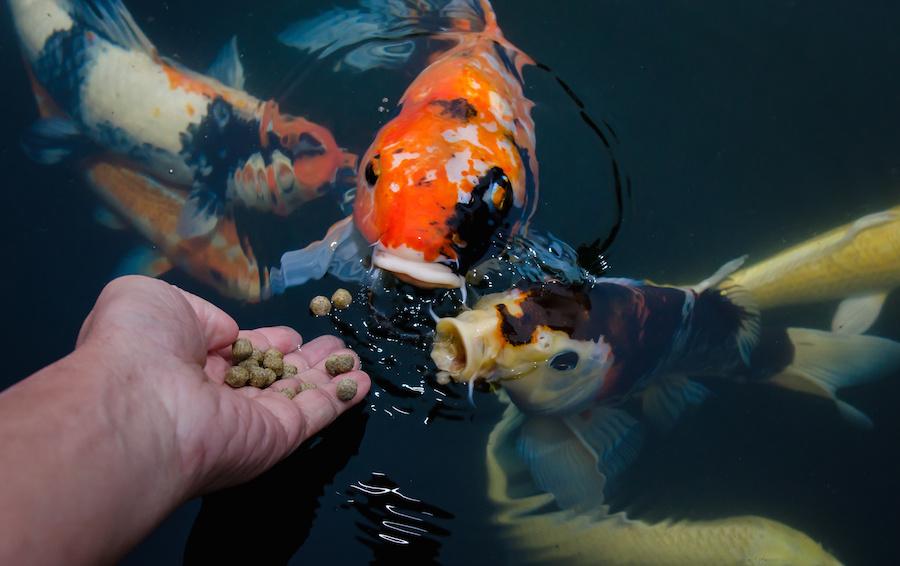 Cara Membuat Pelet Ikan Apung Mudah Dan Pastinya Tahan Lama