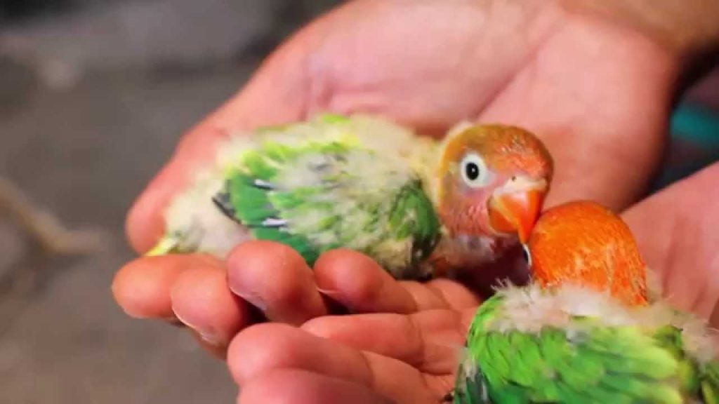 makanan lovebird biar gacor