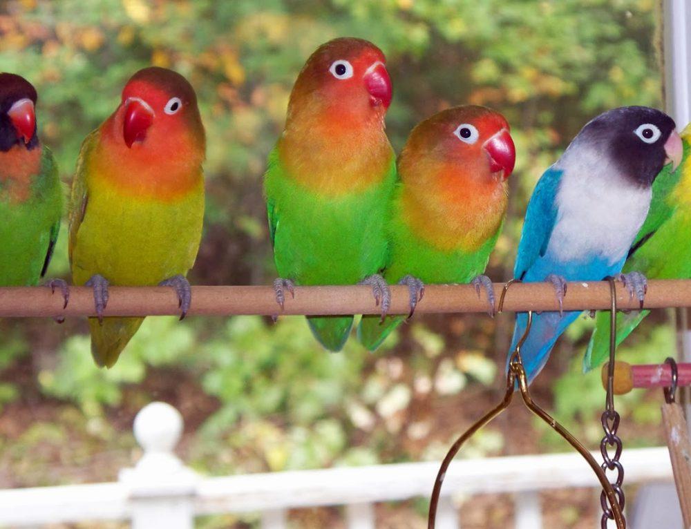 Terbukti Ampuh…! Apa Sih Rahasia Makanan Lovebird Biar Gacor?