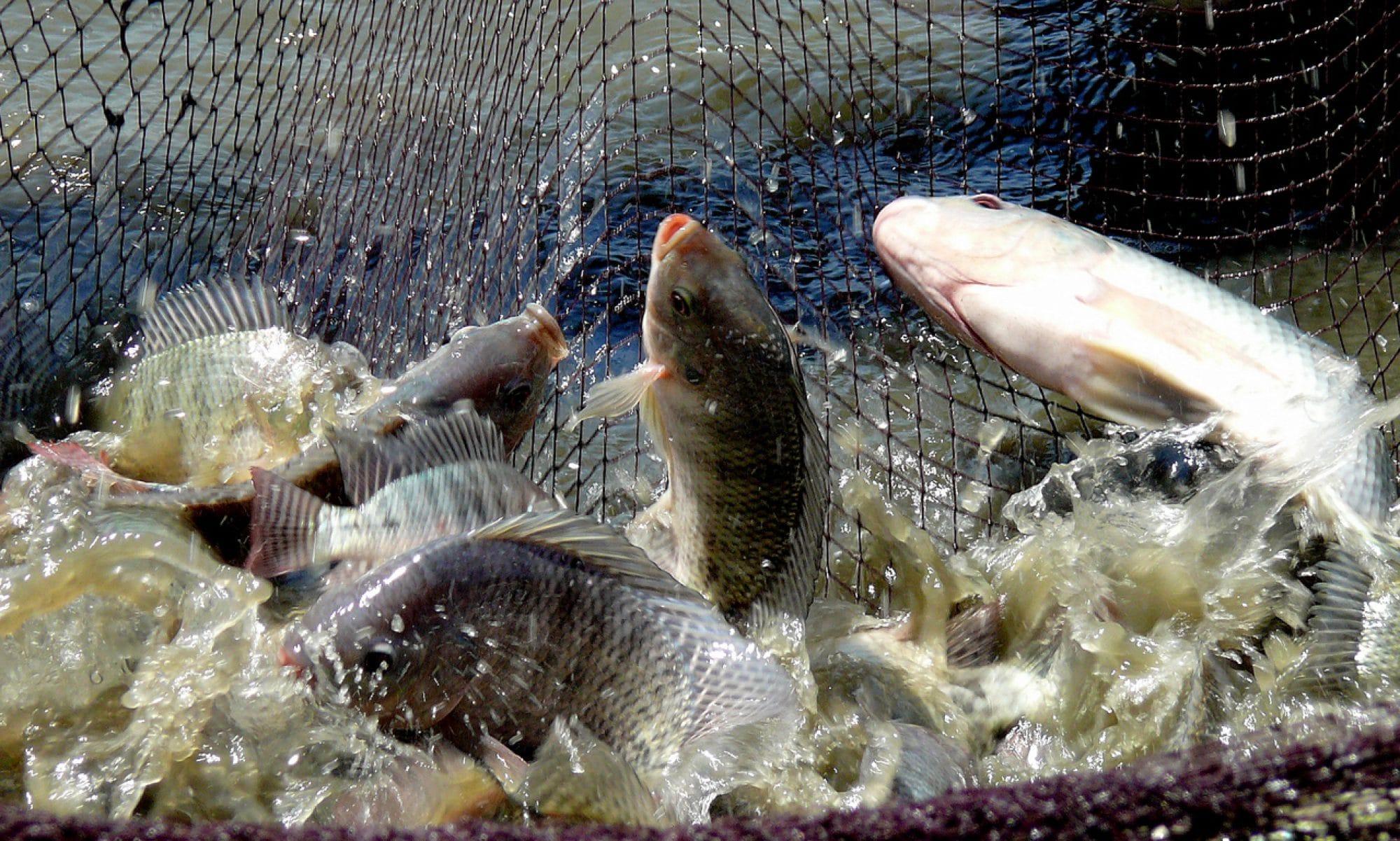 Cara Memilih Induk Ikan Nila