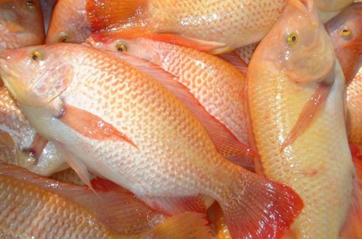 Memilih Bibit Ikan Nila