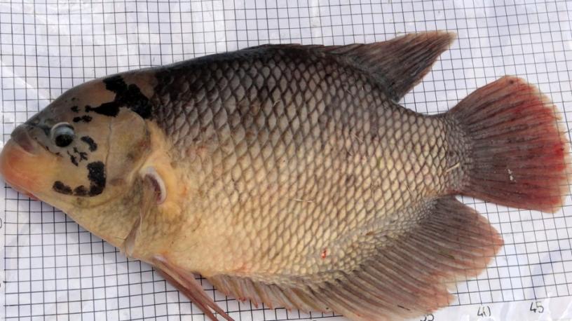 Cara Budidaya Ikan Gurame Dan Tips Agar Ikan Menjadi Berkualitas