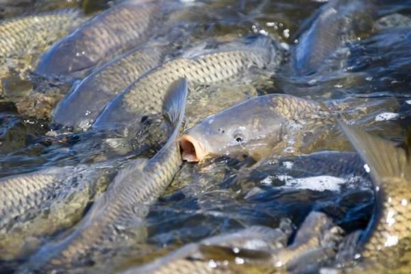 Umpan Ikan Mas Paling Jitu Untuk Lomba Maupun Harian