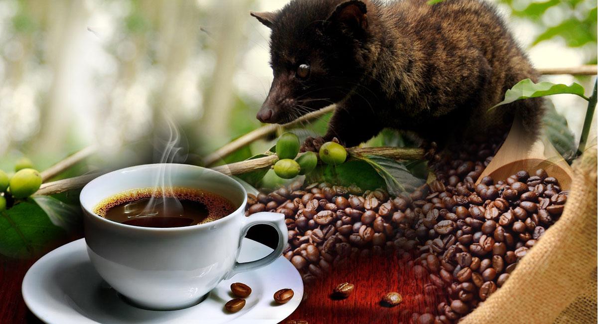 cara membuat kopi luwak