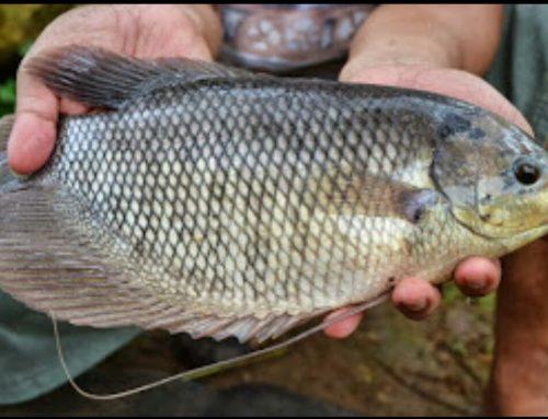 Cara Budidaya Ikan Mujair beserta Pakannya
